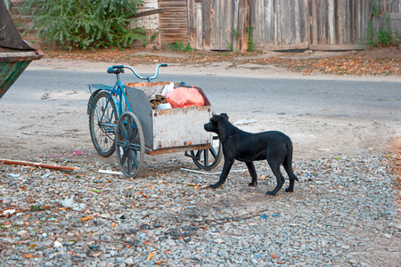 dirtiness: Sad looking street dog scavenging in rubbish cart of human scavenger. Stock Photo