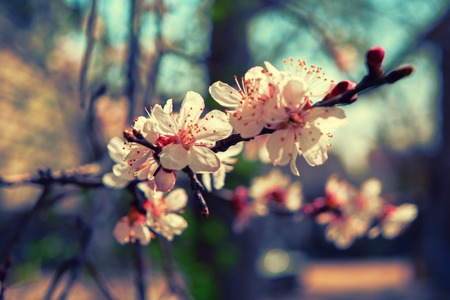 colorized: Spring Cherry blossoms, pink-and-white flowers, macro. Toned colorized shot. Stock Photo