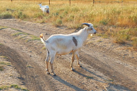 White goat standing at full height side view on the road.