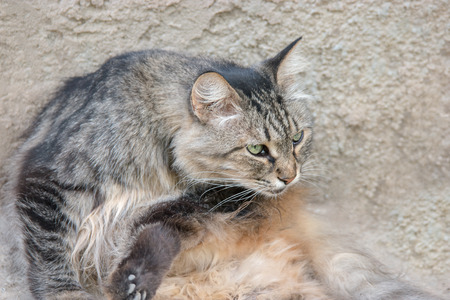 cat grooming: Cat licking fur to clean themselves outdoors. Pussy cat grooming.