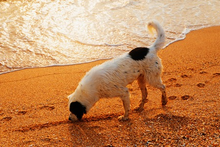 Side view of a hunting dog on a golden sand beach sniffing after swimming in the sea during sunrise. Warm color toned film imitation.