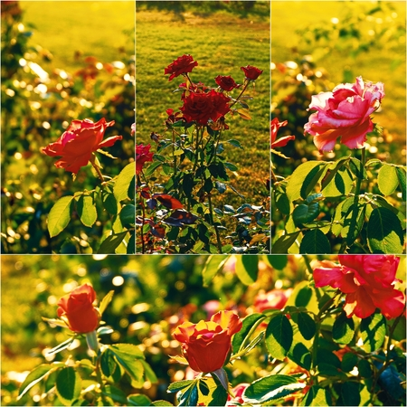 colorized: Roses in the autumn garden backlit, collage set of colorized images.