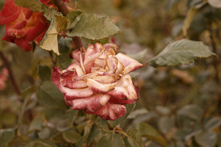 Red and creamy rose dying in autumn garden. Wilted rose. Sad fall mood. Vintage low saturated colors. Copyspace. Selective focus. Stock Photo
