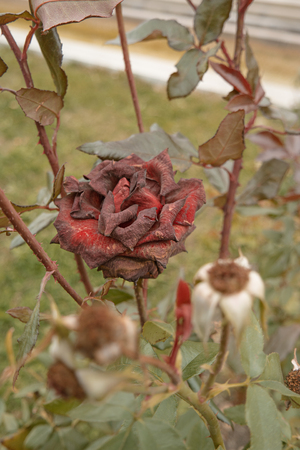 Beautiful dark red rose in the garden, selective focus, vintage color, dying plant in autumn, sad fall mood. Roses wilting in autumn garden. Rose bush in fall season. Stock Photo - 64952693
