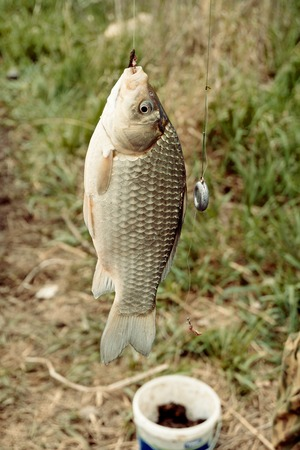 grass carp: Crucian carp hanging on a hook caught by a fisherman in front of can with bait and grass. Stock Photo