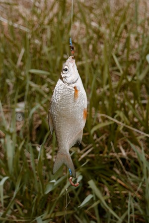Redfin fish hanging on rod in front of green grass, side view, selective focus. Stock Photo