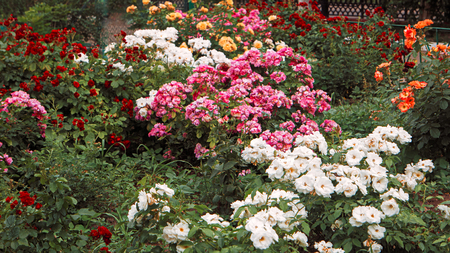 Beautiful roses garden, flowerbed with different color rose-flowers, vintage toned colorized shot, white and pink flowers in spring garden