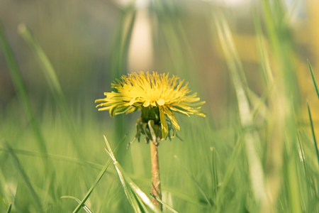 Macro shot of Taraxacum campylodes, yellow flower of young dandellion in lush grass low angle Stock Photo