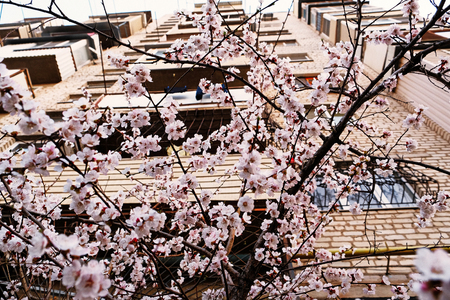 Cherry blossom in front of apartment building view from below