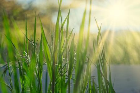 Fili d'erba con caldi raggi di sole al tramonto e copia-spazio Archivio Fotografico