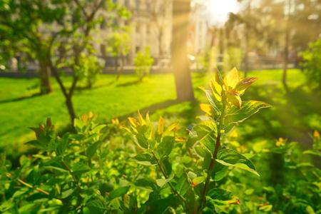 Zonnig park in warme lentedag. Zon fakkels over verse groene takken op struik