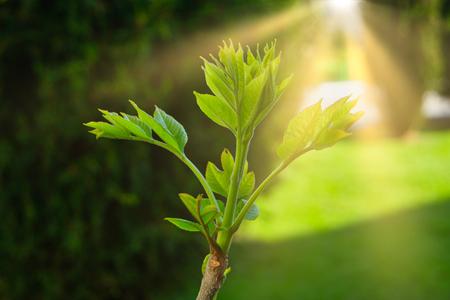 Grüne Sprossen auf den Zweigspitzen im April, frische, befreiende Blätter im Hintergrund durch Sonnenlicht Standard-Bild