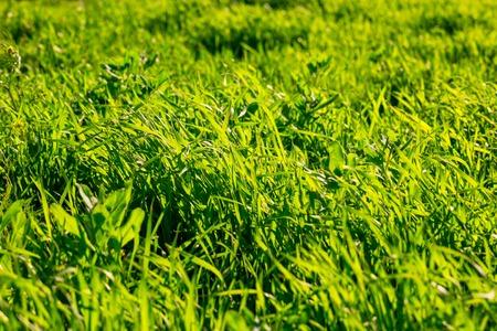 Ungeschnittenes Gras mit Hintergrundbeleuchtung durch Tagessonne am Sommernachmittag Standard-Bild