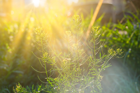 Small yellow wildflower backlit by sun in daytime Stockfoto