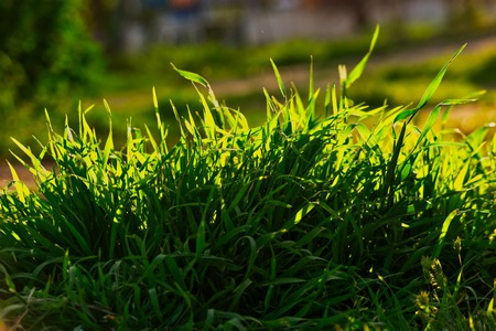 Uncut grass in park in summer evening backlit by setting sun light