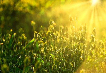 Wildes Gras gefüllt mit Sonnenuntergangslicht im Sommer