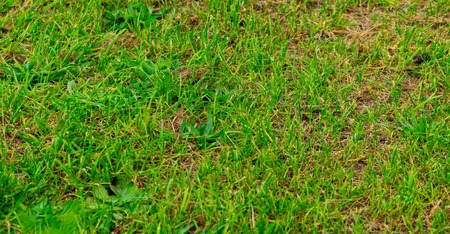 Sparse grass cover of lawn in arid area, water lack Stockfoto