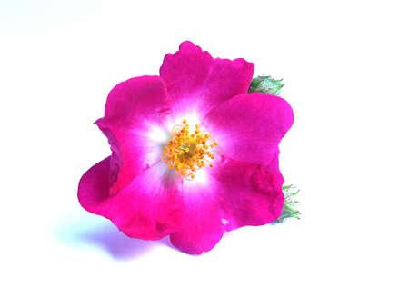 pink rose Stock Photo - 9777656