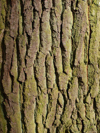 bark: close up of elm tree bark