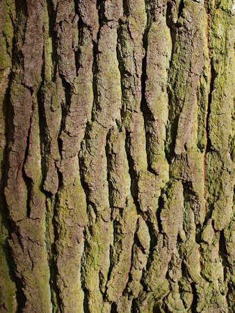 bark texture: close up of elm tree bark