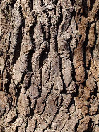 close up of hornbeam tree bark  photo