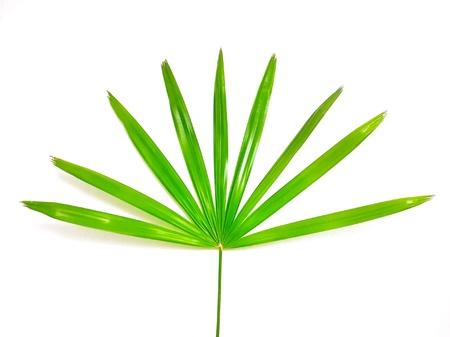 Plam leaf isolated on white background. Stock Photo
