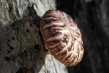 shitake: Shitake mushrooms Stock Photo