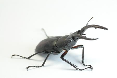 Japanese Stag beetle