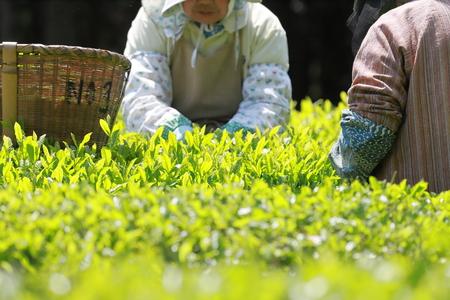 Jpanenese green tea hand picking Stock Photo