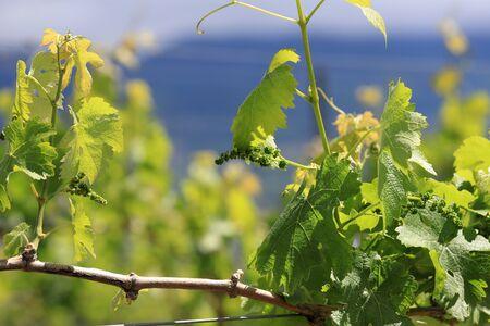Vineyard Nagano prefecture in Japan Banque d'images