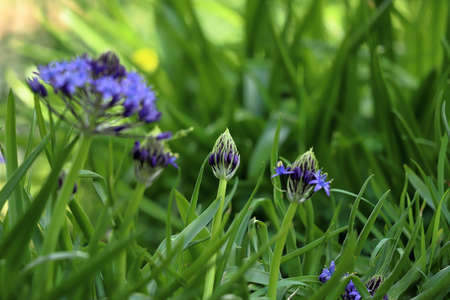 Scilla peruviana, the Portuguese squill, is a species of Scilla native to the western Mediterranean region in Iberia, Italy, and northwest Africa.