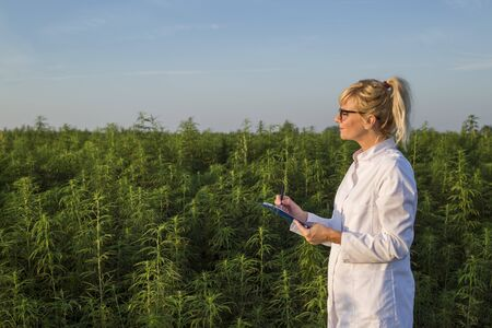 Scientist observing CBD hemp plants on marijuana field and taking notes Stock Photo