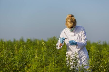 Scientist with tweezers taking samples and observing CBD hemp plants on marijuana field. She is using glass tube Banco de Imagens