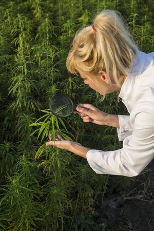 Scientist with magnifying glass observing CBD hemp plants on marijuana field 免版税图像