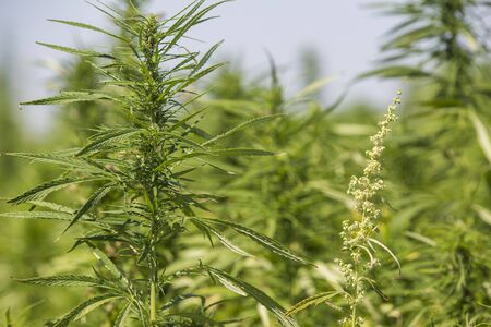 Male and female CBD hemp plants on marijuana field. Medicinal and recreational marijuana plants cultivation.