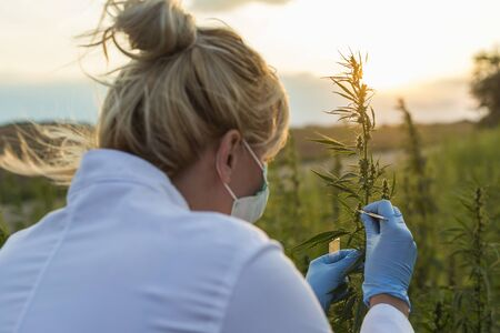 Scientist with tweezers taking samples and observing CBD hemp plants on marijuana field. She is using glass tube 免版税图像