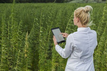 Scientist observing CBD hemp plants on marijuana field and writing results in tablet. Medicinal and recreational marijuana plants cultivation.