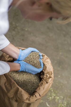 Hands with blue latex gloves taking seeds of CBD hemp from sack in factory forming heart. Medicinal and recreational marijuana plants cultivation. 版權商用圖片