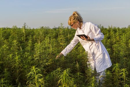 Scientist observing CBD hemp plants on marijuana field and writing results in tablet