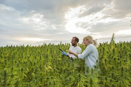 Two people on CBD hemp plants field showing growth. They are using tablet.