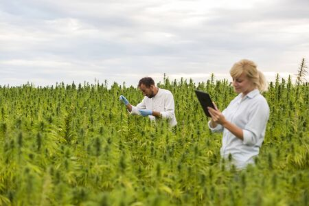 Two people observing CBD hemp plants on marijuana field and writing results in tablet. They are using tweezers and test tube. Фото со стока - 130308845
