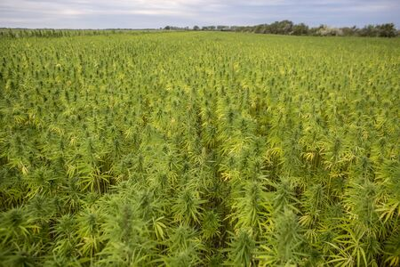 Marijuana CBD hemp plants field 免版税图像