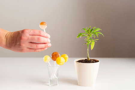 Lollipops made of CBD products in a small glass cup, and a marijuana plant on the side in a white pot. A hand brings a lollipop closer to a glass. The background is white.