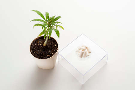 CBD Chewing gum positioned on a glass transparent stand and marijuana plant on the side in a white pot. The background is white.