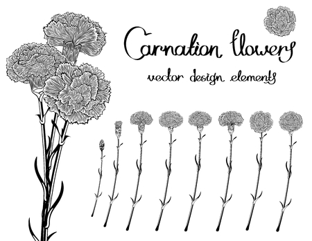 Vector set isolated of flowers carnations. Black and white bundle of eight unique blossom in engraving style. In addition, a bouquet of three cloves.