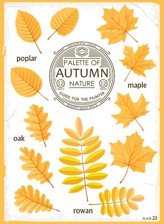 Set of isolated leaves Autumn season. Maple, Oak, Poplar and Rowan. Realistic vector graphics.  Creative design for print, web, etc. Illustration