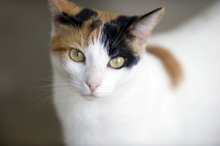curiously: This Calico cat with green eyes is curiously looking at you.
