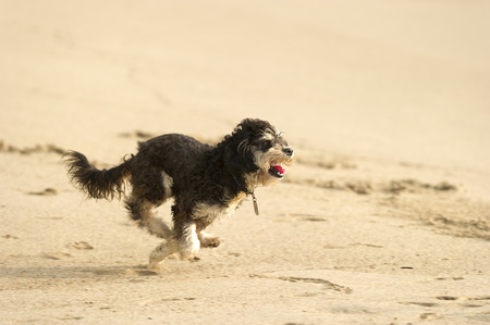 A cute dog is running and playing fetch the ball on the beach  photo