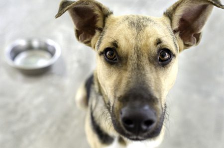 pure bred: A dog with a food bowl in the background as he eagerly awaits his meal. Stock Photo