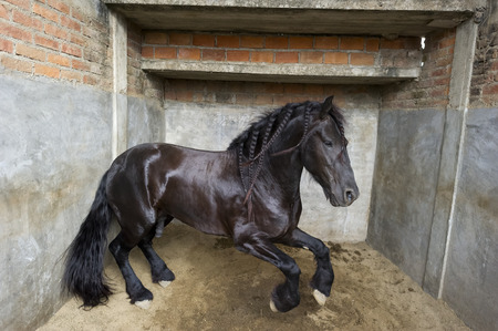 強力な種馬馬は stomps し、彼の屋台にジャンプします。